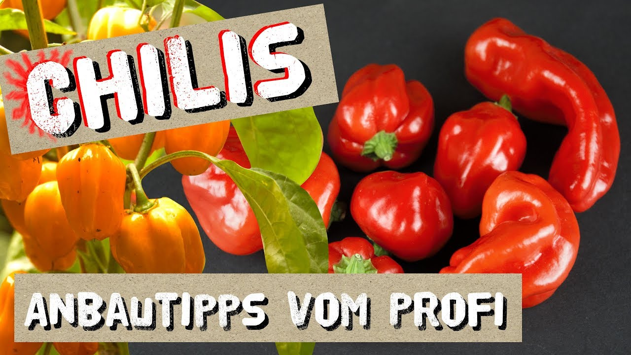 Chili Anbautipps vom Profi + Chilisorten